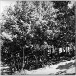 Mese-Agaclari,-1978