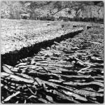 Mese-Agaclari,-1978(2)